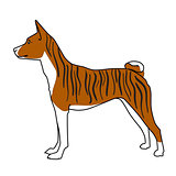 Brindle basenji dog standing