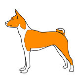 Red and white basenji dog standing