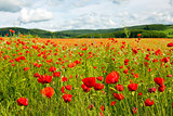 Beautiful poppy field and blue sky.