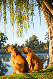 boerboel Dogs by River