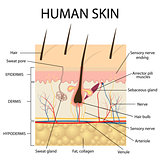 Illustration of human skin anatomy.