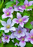 Purple clematis flowers on a natural
