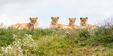 Four female lions