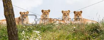 Four female lions