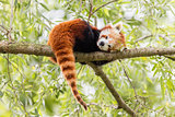 Red Panda, Firefox or Lesser Panda