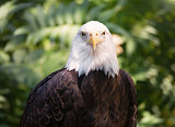 Close-up Portrait of a Bald Eagle