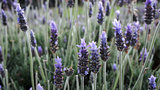 Lavender flowers in the field in spring