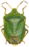 Green shield bug on white Background