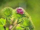 Thistle flower Macro