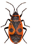 The Firebug on white Background