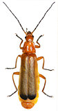 Red Soldier Beetle on white Background