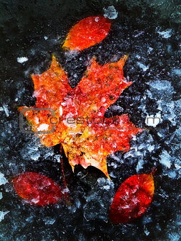 Autumn Leaves In Ice