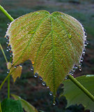 Wet grape leaf