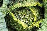Savoy cabbage leaves with watter drops