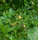 Green gooseberry bush
