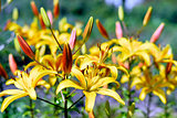 Flowering ornamental yellow lily in the garden closeup