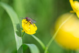 Fly on Buttercup Flower