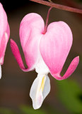 Bleeding Heart Flower Close Up