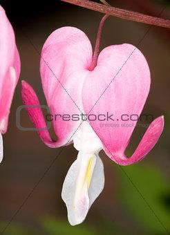 Bleeding Heart Flower Close Up