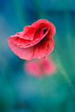 red poppy with drops on green background closeup