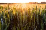 Wheat Farm Field at Golden Sunset or Sunrise