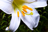 Decorative white lily in the garden closeup
