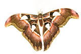 Attacus Atlas or Prince of Darkness. The biggest moth.