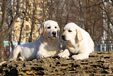 two yellow happy labrador puppies in garden