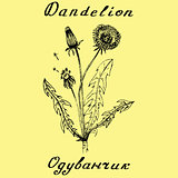 Dandelion botanical illustration