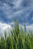 ripening wheat against the sky