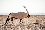Single Oryx in Namib Desert.