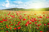 Poppies field in rays sun.