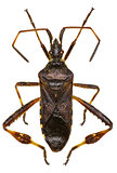 Western Conifer Seed Bug on white Background
