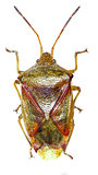 Birch Shield Bug on white Background