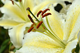 White fresh lilly flowers with green leaves