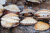 Many scallop shells lying on rocks
