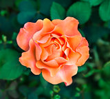Flower orange rose