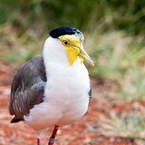 Masked lapwing (also known as the masked plover)