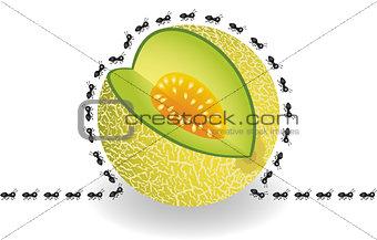 Ants around cantaloupe melon slice