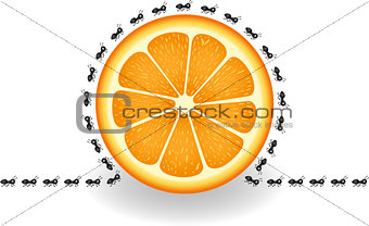 Ants around orange slice