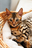 Small bengal kitten