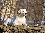 a yellow happy labrador puppy in garden portrait
