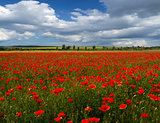 poppy field against the sky