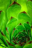 Sempervivum plant during flowering