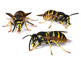 Busy wasps on white