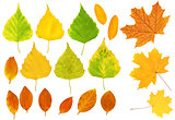 Leafs of a birch, maple and barberry