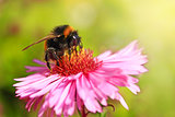 bumblebee sits on the aster