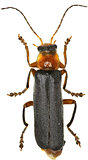 Soldier Beetle on white Background