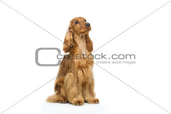 Beautiful English Cocker Spaniel