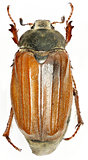 European cockchafer on white Background